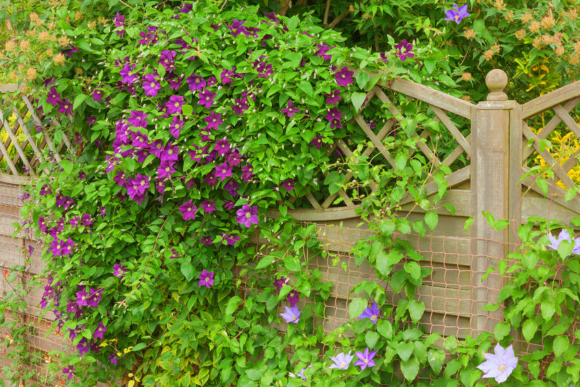 The best climbing plants for your garden fence or wall colourfence if you are looking to create interest and introduce height into your garden few plants are quite as successful as climbers many are fast growing and will mightylinksfo