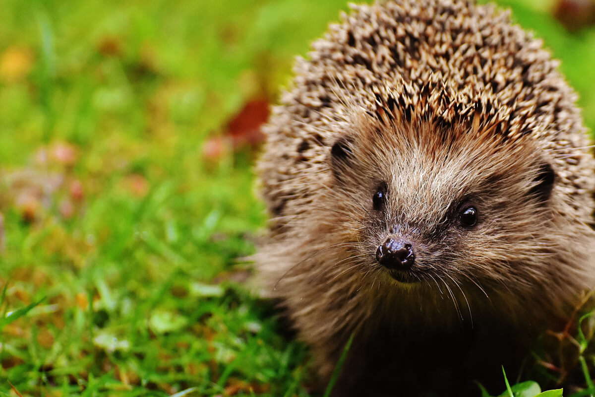 Getting your garden 'Hedgehog Ready'